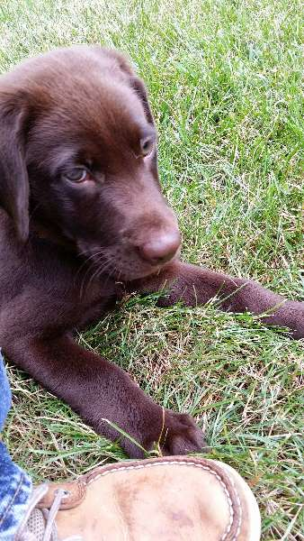 Field Dogs: Field-Labrador-Retriever-Breeder-Metro-NJ-PA-area
